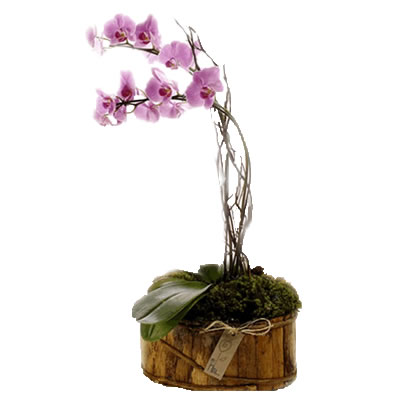 03 Pianta di Orchidea